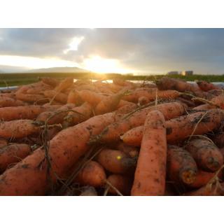 Karotten ungewaschen