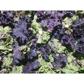 Frivole (Flower Sprouts, Kalettes)